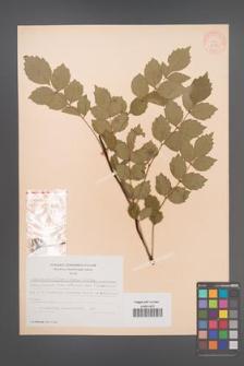 Campsis grandiflora [KOR 28271]