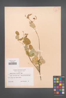 Campylotropis chinensis [KOR 28272]