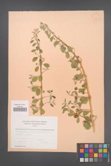 Capparis spinosa [KOR 23602]