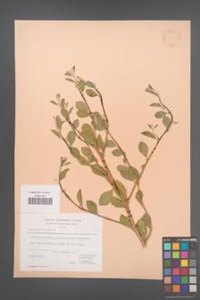 Capparis spinosa [KOR 21246]
