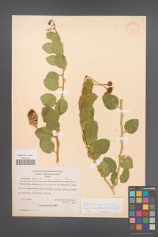 Capparis spinosa [KOR 21230]