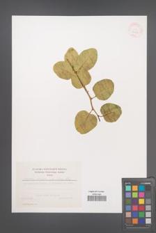 Capparis spinosa [KOR 39844]