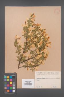 Caragana frutex [KOR 760]