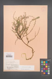 Caragana pygmaea [KOR 24458]