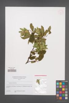 Carpinus betulus [KOR 53839]