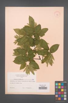 Carpinus betulus [KOR 7281]