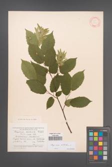 Carpinus betulus [KOR 12468]