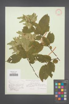 Carpinus betulus [KOR 12421]