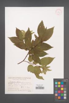 Carpinus betulus [KOR 32086]
