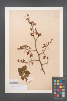 Carpinus betulus [KOR 54450]