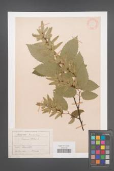 Carpinus betulus [KOR 12439]