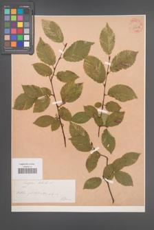 Carpinus betulus [KOR 54402]