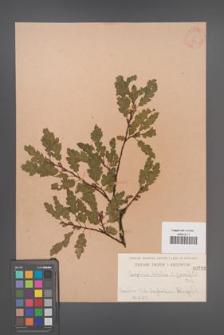 Carpinus betulus [KOR 733]