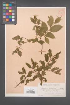 Carpinus betulus [KOR 734]