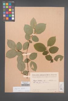 Carpinus betulus [KOR 1717]
