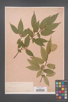 Carpinus japonica [KOR 33936]