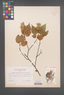 Carpinus laxiflora [KOR 12446]