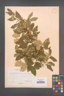 Carpinus orientalis [KOR 21248]