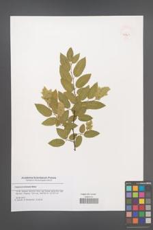 Carpinus orientalis [KOR 47961]