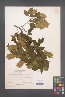 Carpinus orientalis [KOR 21267]