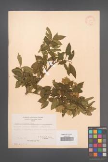 Carpinus orientalis [KOR 21261]