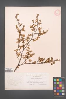 Carpinus orientalis [KOR 12447]