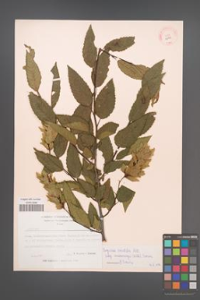 Carpinus orientalis [KOR 12493]