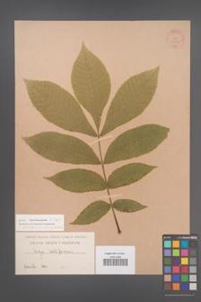 Carya cordiformis [KOR 33942]