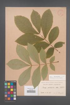 Carya cordiformis [KOR 686]