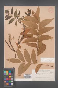 Carya illinoensis [illinoinensis] [KOR 664]