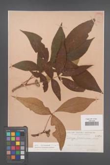 Carya laciniosa [KOR 679]