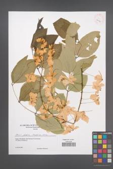 Cassia fistula [KOR 43176]