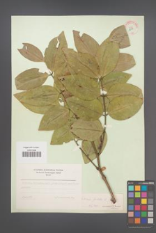 Cassia fistula [KOR 12499]