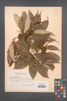 Castanea molissima [mollisima] [KOR 12519]