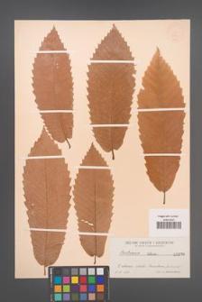 Castanea sativa [KOR 696]