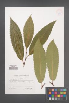 Castanea sativa [KOR 40378]