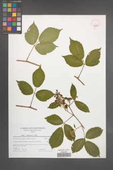 Rubus siemianicensis [KOR 44684]