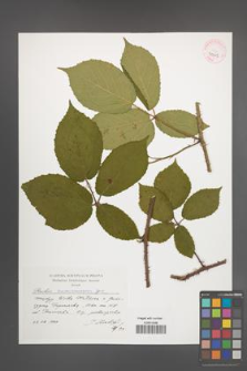 Rubus siemianicensis [KOR 41315]