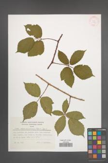 Rubus siemianicensis [KOR 29620]