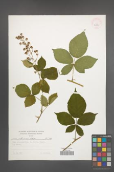 Rubus silesiacus [KOR 24386]