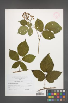 Rubus silesiacus [KOR 44559]