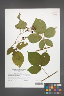 Rubus silesiacus [KOR 54455]