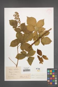 Rubus silesiacus [KOR 30571]