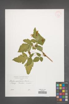 Rubus spectabilis [KOR 37980]