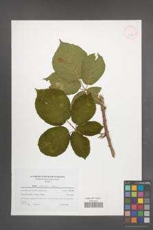 Rubus silesiacus [KOR 41525]