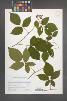 Rubus silesiacus [KOR 40569]