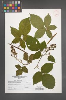 Rubus silesiacus [KOR 40565]