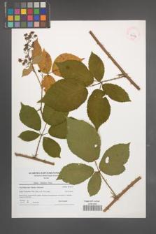 Rubus silesiacus [KOR 41054]
