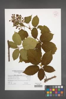 Rubus silesiacus [KOR 54458]