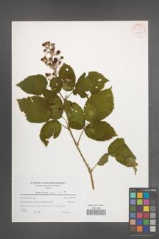 Rubus silesiacus [KOR 54459]